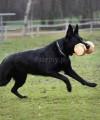 Aport drewniany do szkolenia psa IPO - gryf z buczyny