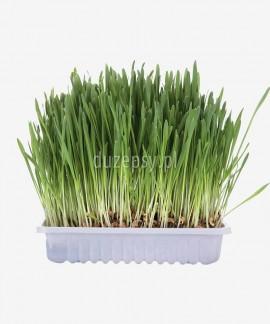 Trawa dla kota w pojemniku nasiona zbóż do własnej uprawy Trixie, 100 g